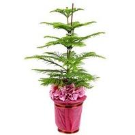 아라우카리아 (중)♥공기정화식물