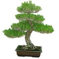 소나무 분재f5