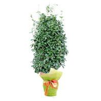 동백꽃나무(겨울상품)