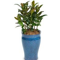 고무나무 (고급칼라분)