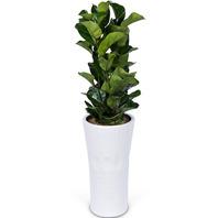 떡갈잎 고무나무 백자분