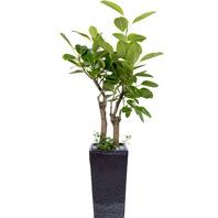 뱅갈고무나무 쌍대