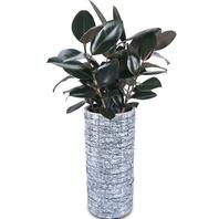 멜라니 고무나무2