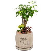 녹보수(대박나무)