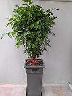 신종녹보수 대박나무 (대)