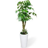 대박나무(녹보수)