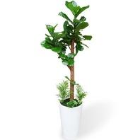 떨갈잎 (목대고무나무)