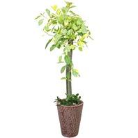 뱅갈 고무나무