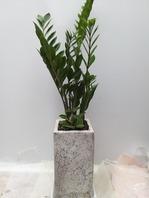 금전수사각분(金錢樹)