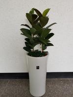 고무나무2포트 백자분(개업 인기상품)
