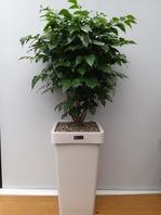 신종 녹보수(대박나무)