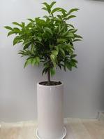 월계수나무