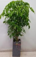 녹보수k1(대박나무) 시멘트분