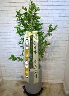 동백나무 시멘분
