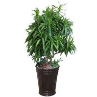 공기정화식물 자마이카